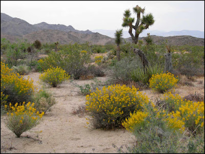 Joshua Tree National Park,Joshua tree,desert senna,hills,flowers,wildflowers
