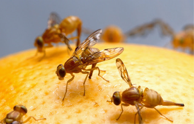 Natural, non-toxic solution for getting rid of fruit flies. How to Get Rid of Fruit Flies Naturally. Get rid of fruit flies. How to prevent fruit flies.