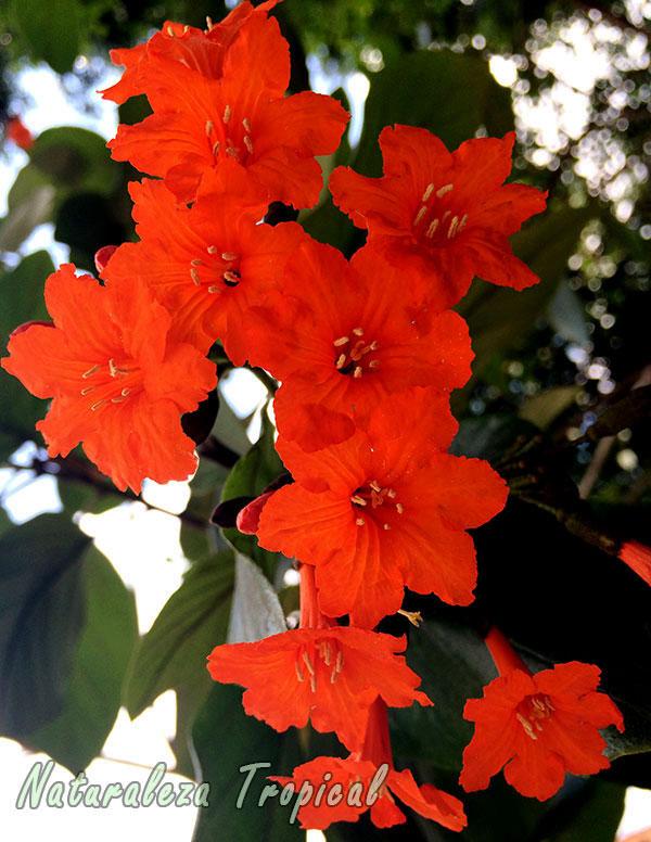 Flores del Árbol Nomeolvides, Cordia sebestena