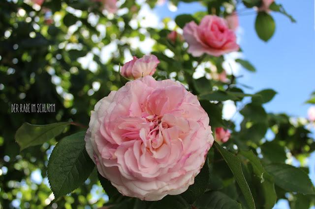 Garten, Garden, Rose, Generous Gardener