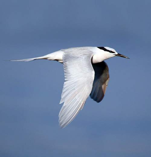 Indian birds - Image of Black-naped tern - Sterna sumatrana