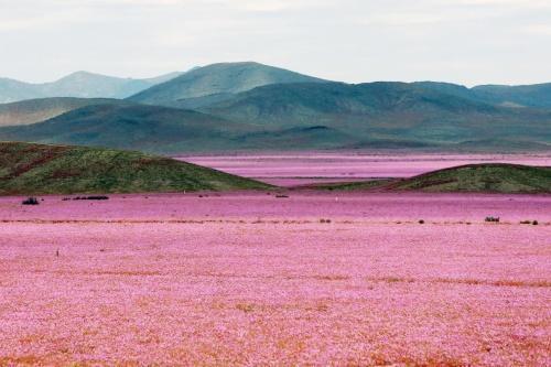 砂漠が一面花畑になる?スーパー・ブルームの美しい光景 【nat】 アカマタ砂漠