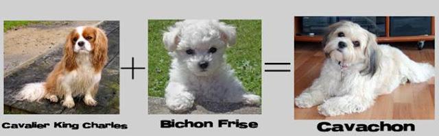 cavalier king C +bichon frise