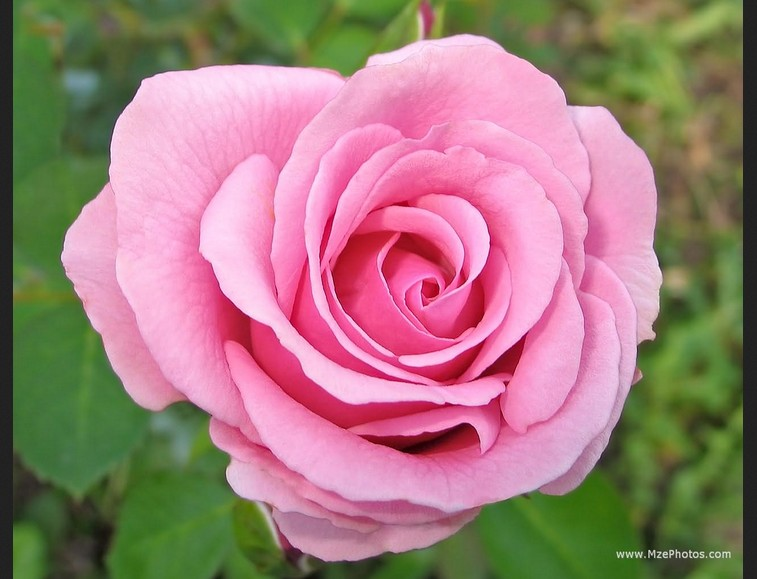 Free pink roses wallpaper pink wallpaper designs with the progress of hybridization strategies and the discovery of recent species flower growers introduced new colours of pink to the general public mightylinksfo Choice Image