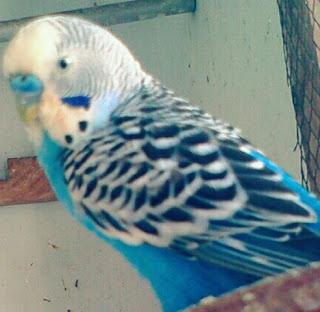 Jenis Lovebird Cobalt/Lovebird Biru