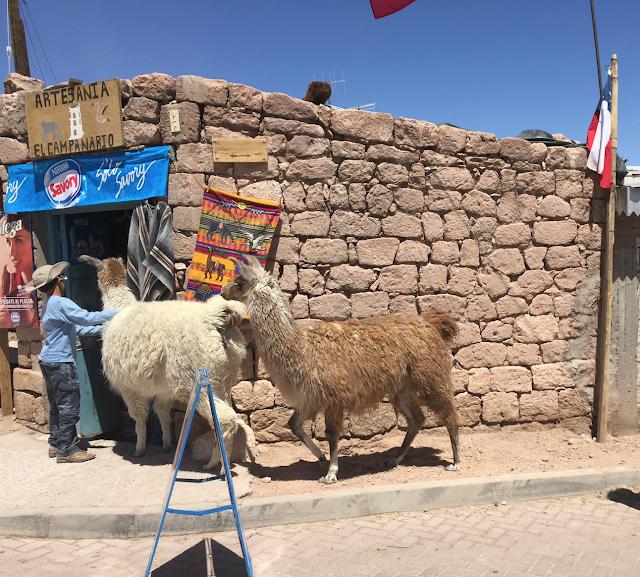 Llamas Atacama