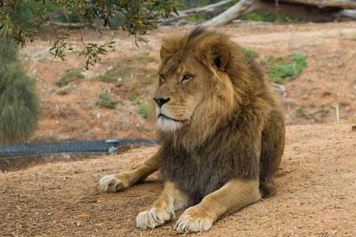 Kalian tentu tahu tentang seekor binatang yang menguasai hutan rimba Contoh Report Text about Lion dan Arti Terjemahannya