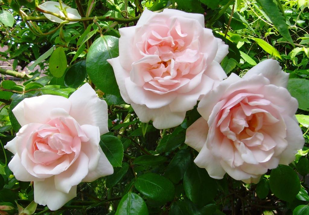 the basketry garden roses grow on you. Black Bedroom Furniture Sets. Home Design Ideas