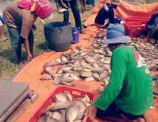 Cara Budidaya Ikan Gurame agar Cepat Besar dan Panen