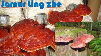 Jamur Ling zhe