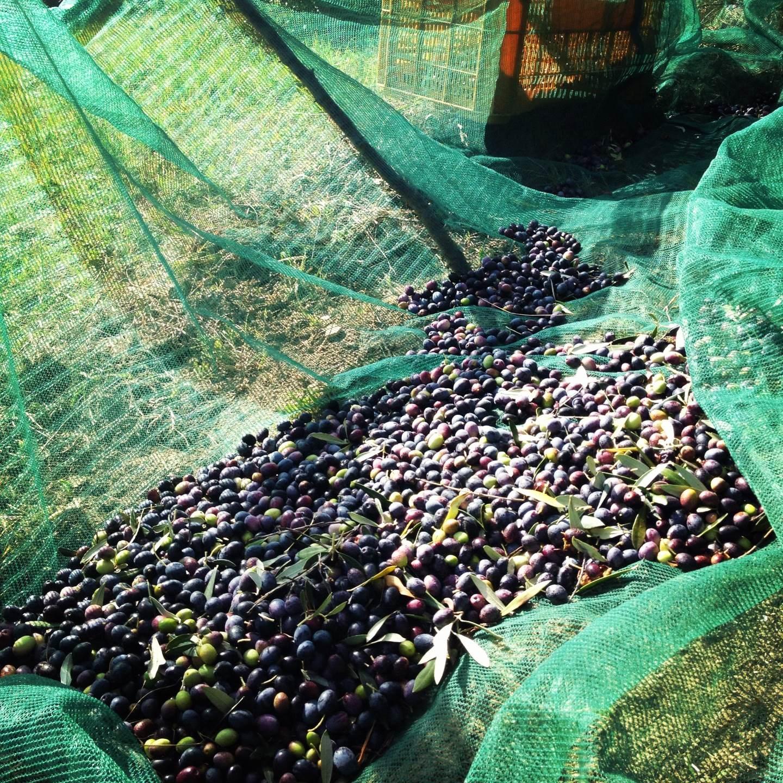La raccolta delle olive! | ITALIAN COOKING ADVENTURES