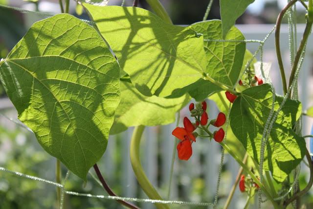Flowering scarlet runner beans.