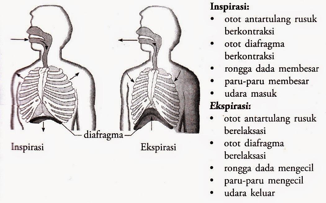 Mekanisme Pernapasan dada dan Pernapasan Perut