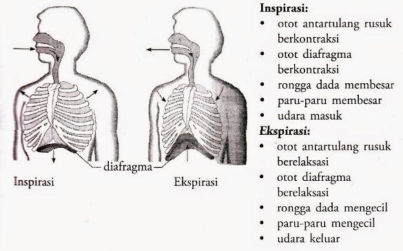 Mekanisme Pernapasan dada dan Perut