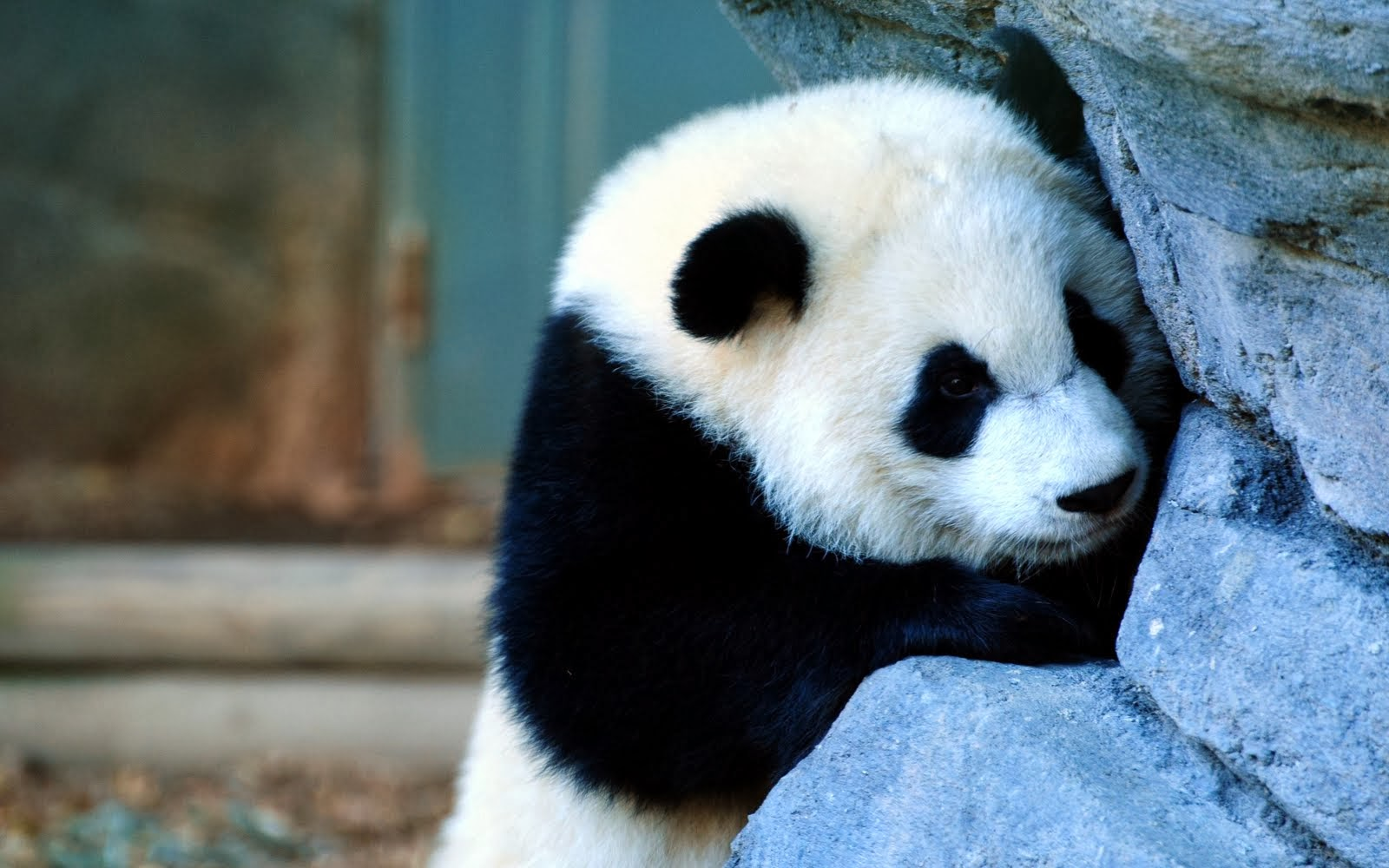 Best Wallpapers Pics Free Download Panda Hd Wallpapers