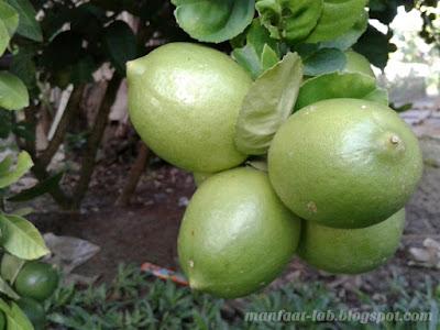 7 manfaat jeruk nipis