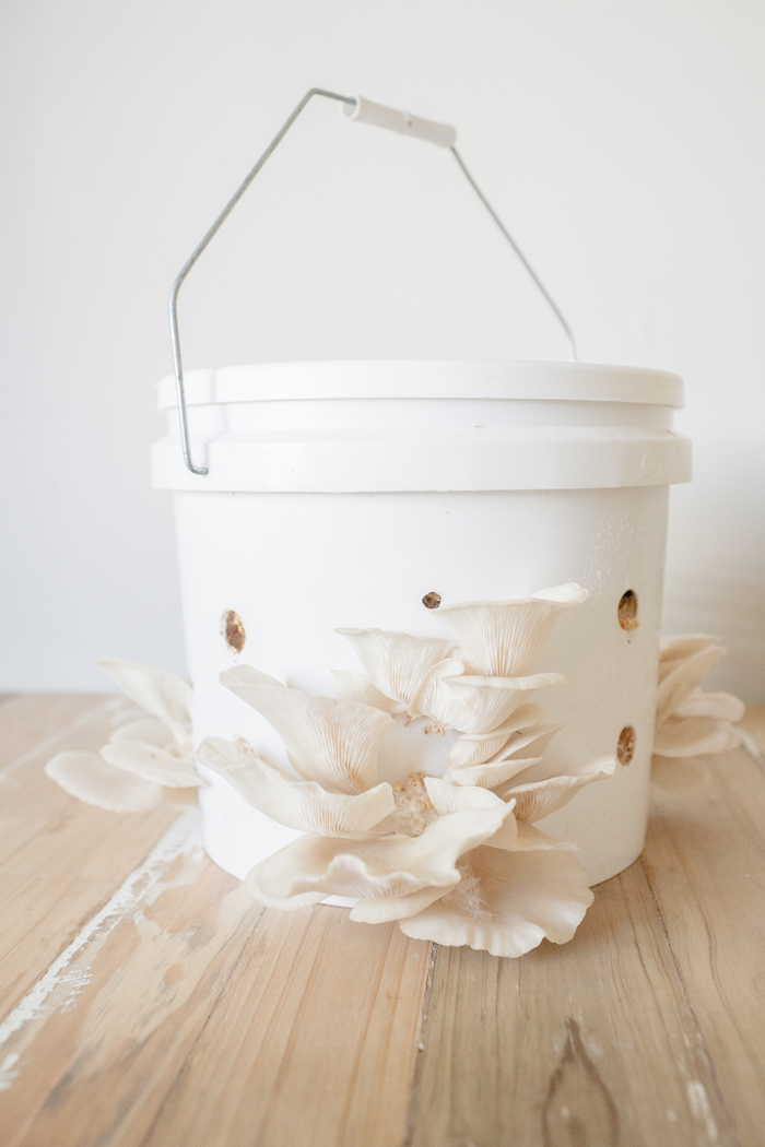 growing oyster mushrooms in a bucket