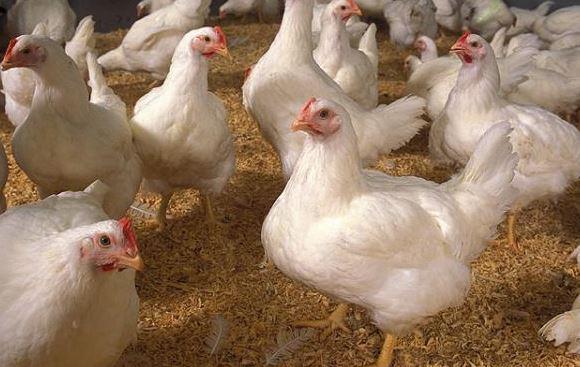 Referensi Harga Ayam Broiler
