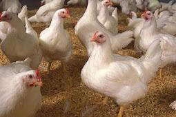 Referensi Harga Ayam Broiler Juni 2019