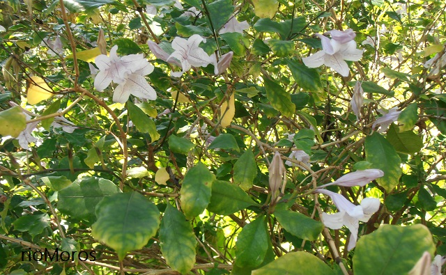 Flores y hojas de MACAYA, Campana de río Mackaya bella