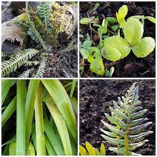Native garden, Blechium spicant,  Fragaria vesca,  Luzula sylvatica,  Polypodium vulgare
