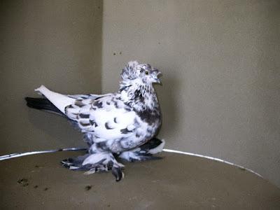 trumpeter pigeons-pigeon-Englische Trommetaube