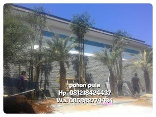 Jual pohon pule Batang besar dan kecil bergaransi,  harga bersaing relatif murah