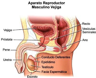 Aparato Reproductor Masculino indicando partes incluyendo otras partes como ano, recto, etc