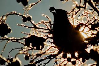"""""""الطيور في حالة سكر"""" في ولاية مينيسوتا ، الولايات المتحدة الأمريكية"""