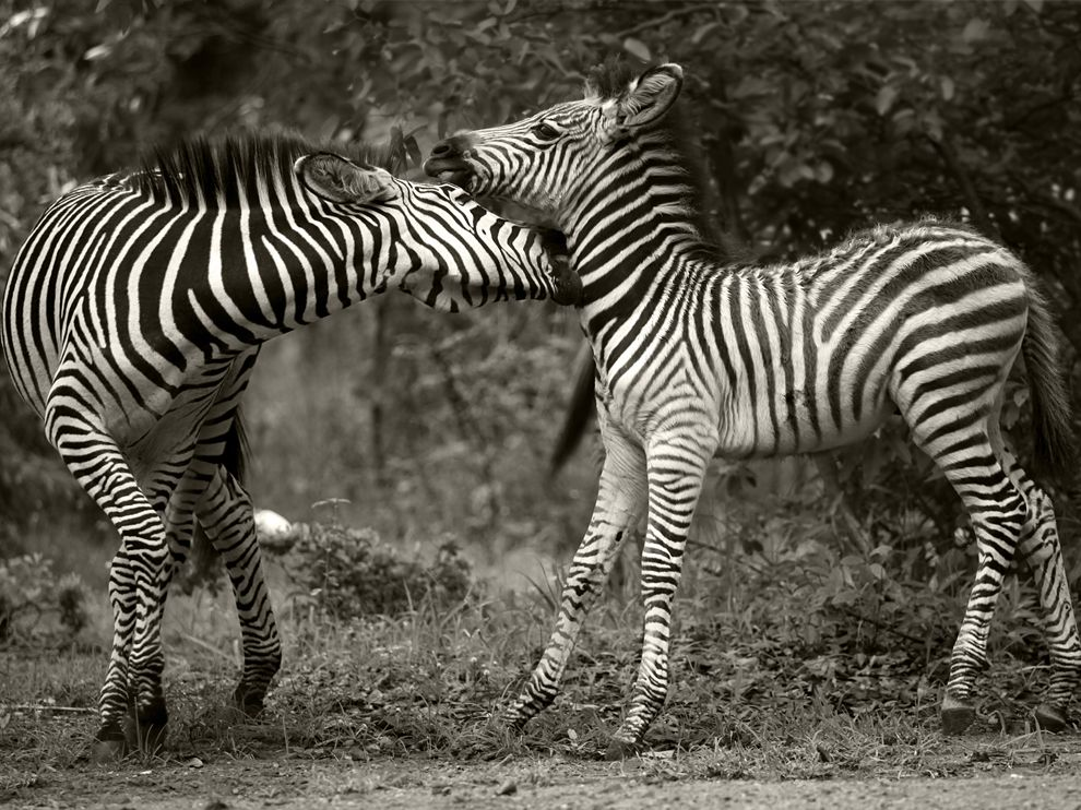 HD Desktop Wallpapers: Zebra wallpaper, zebra wallpapers