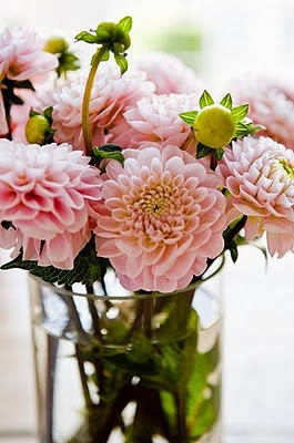 gorgeous light pink dahlias