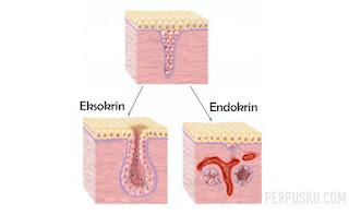 Eksokrin Endokrin