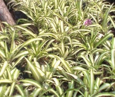 http://tukangtamankaryaalam.blogspot.com/2014/12/pohon-lili-paris-tanaman-lili-paris.html