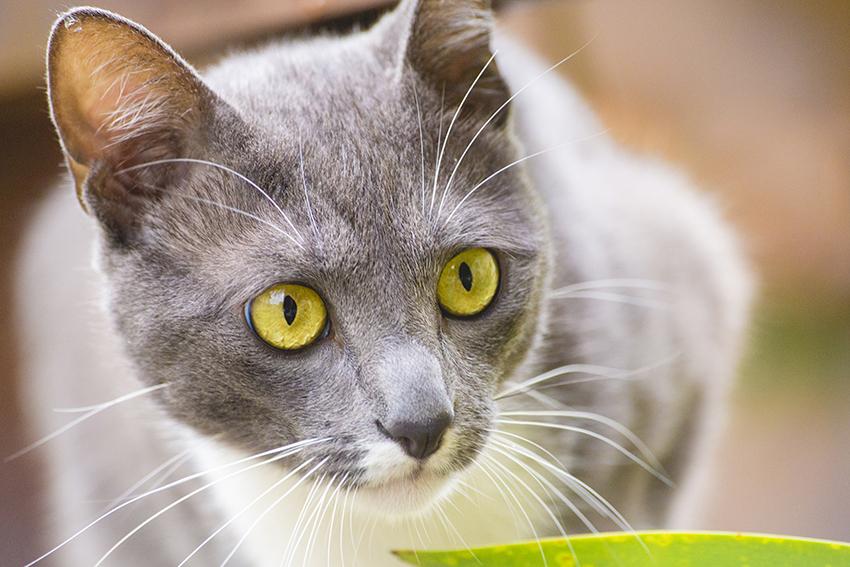 gato cinza e branco