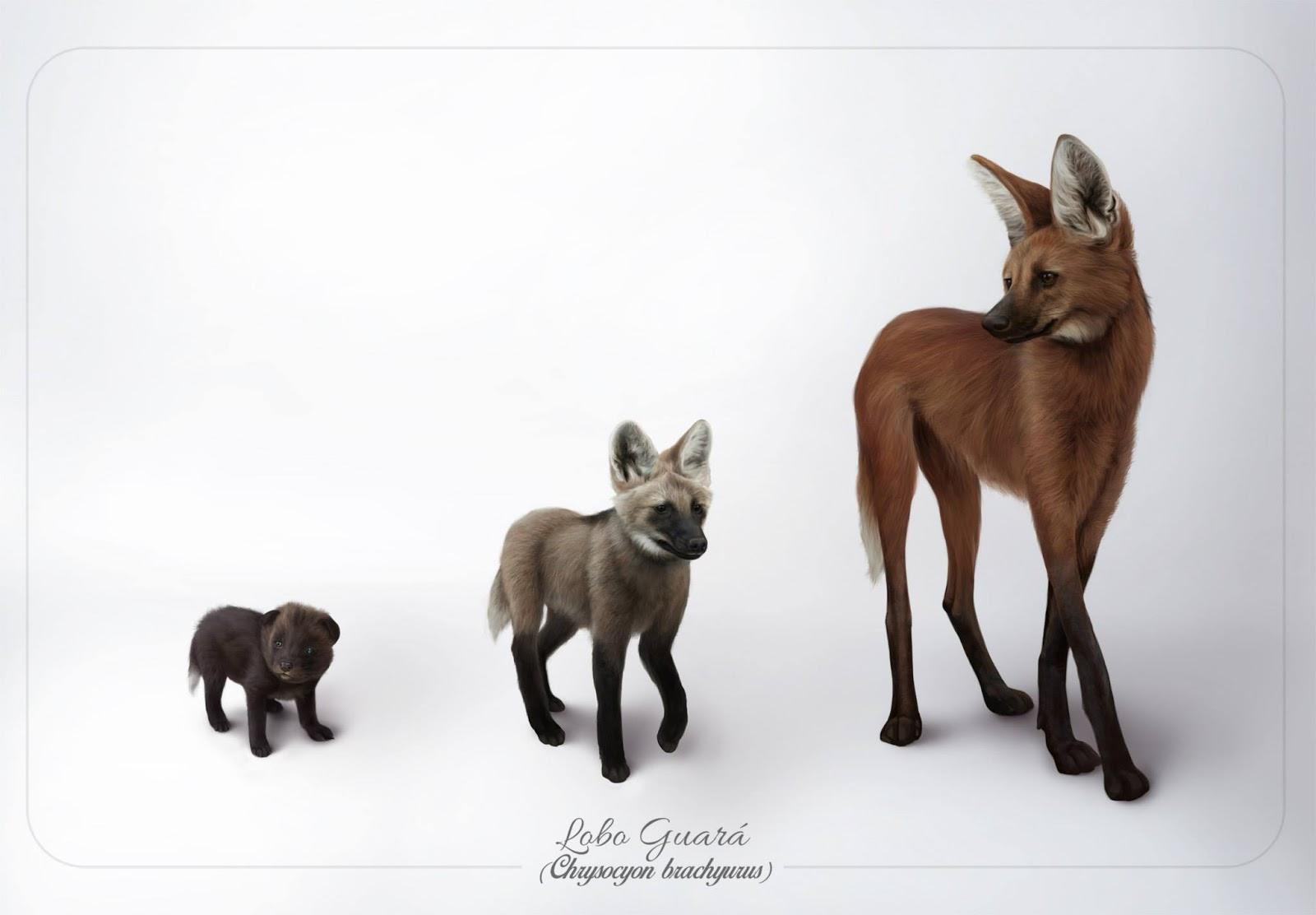 Fases do Lobo Guará representadas pelo artista Lucas Lima. Observa-se que o  lobo 002c3b3db5