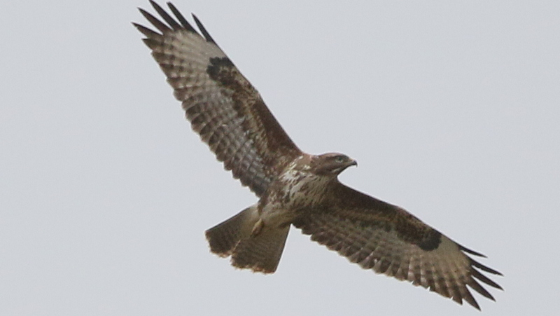 Fly Flatts Buzzard