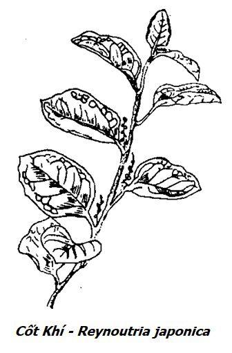 Hình vẽ Cốt Khí - Reynoutria japonica - Nguyên liệu làm thuốc Chữa Tê Thấp và Đau Nhức