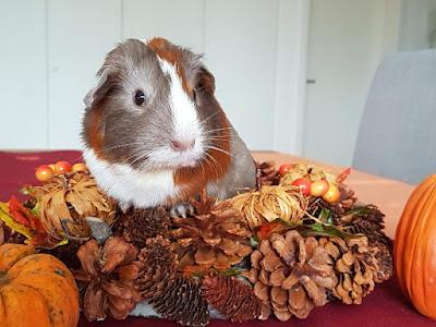 meerschweinchen-verstehen: Meerschweinchen Holly im Oktober 2017 Herbstfotoshooting