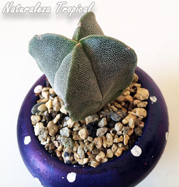 Astrophytum myriostigma var. quadricostatum creciendo en sustrato para cactus