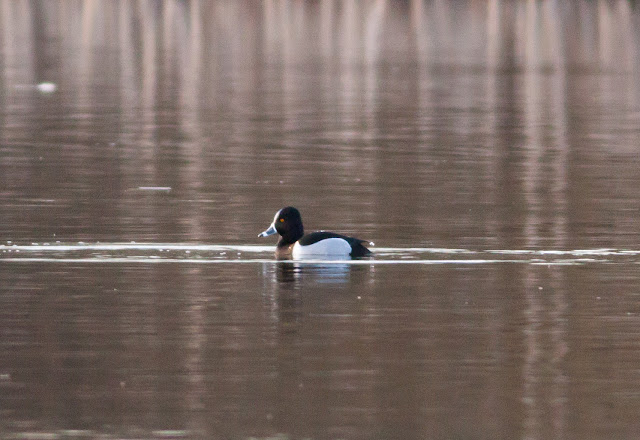 Ring-necked Duck - Priorslee Lake