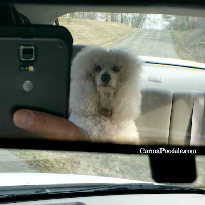 Poodle in the rearview mirror