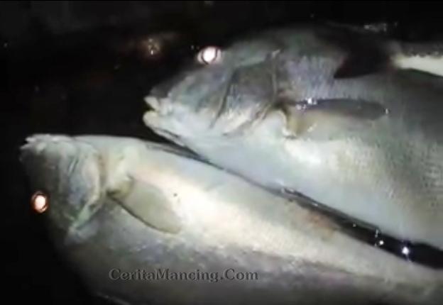 Mancing Malam Strike Ikan Kaci Kaci Main Buntat