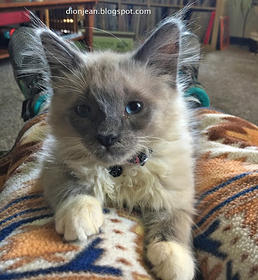 Fergus the rescue kitten sitting on my lap