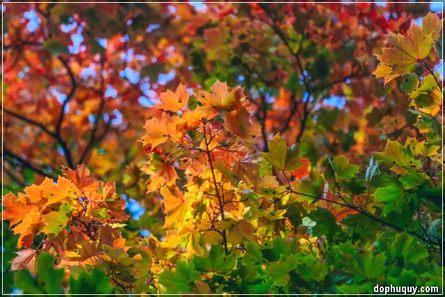 những chiếc lá mùa thu đặc trưng