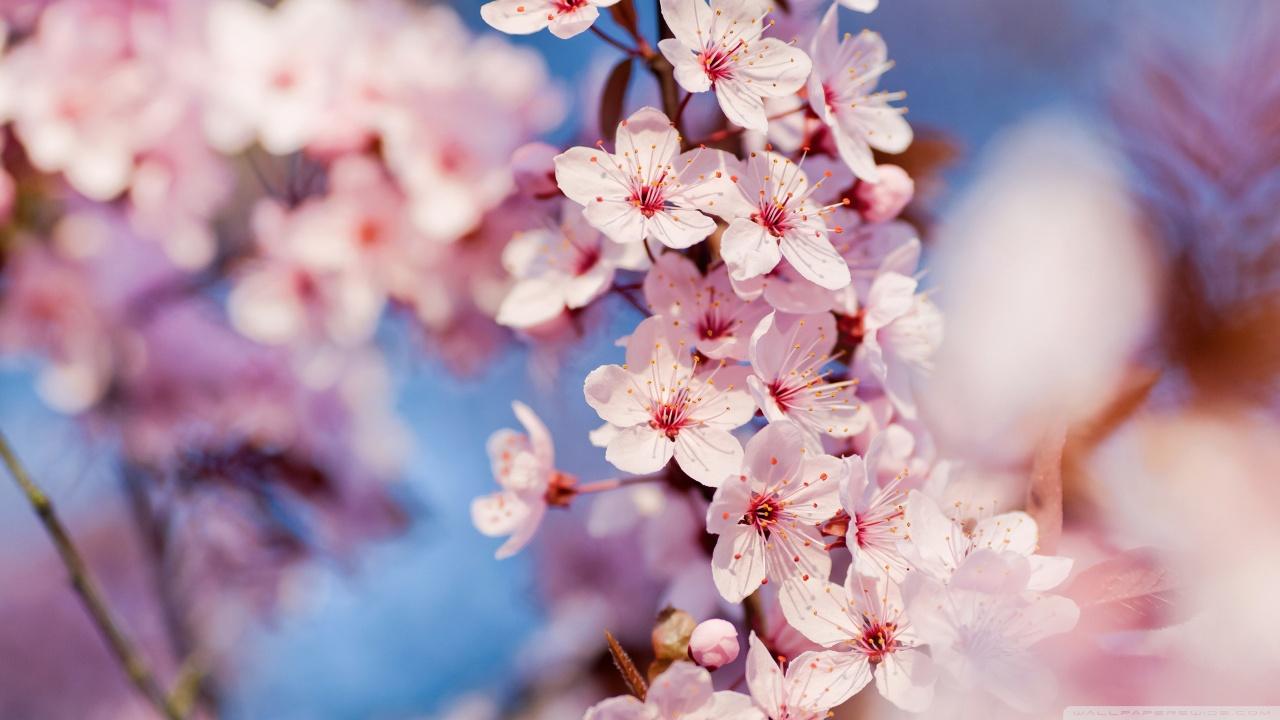 Twila Mann: cherry blossom hd