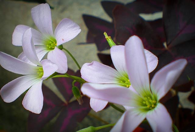 Bunga Pokok Rerama Hiasan