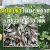 เลี้ยงปลาซิวในบ่อพลาสติก  เลี้ยงง่าย รายได้ดี (โรคและการขยายพันธุ์อย่างละเอียด)