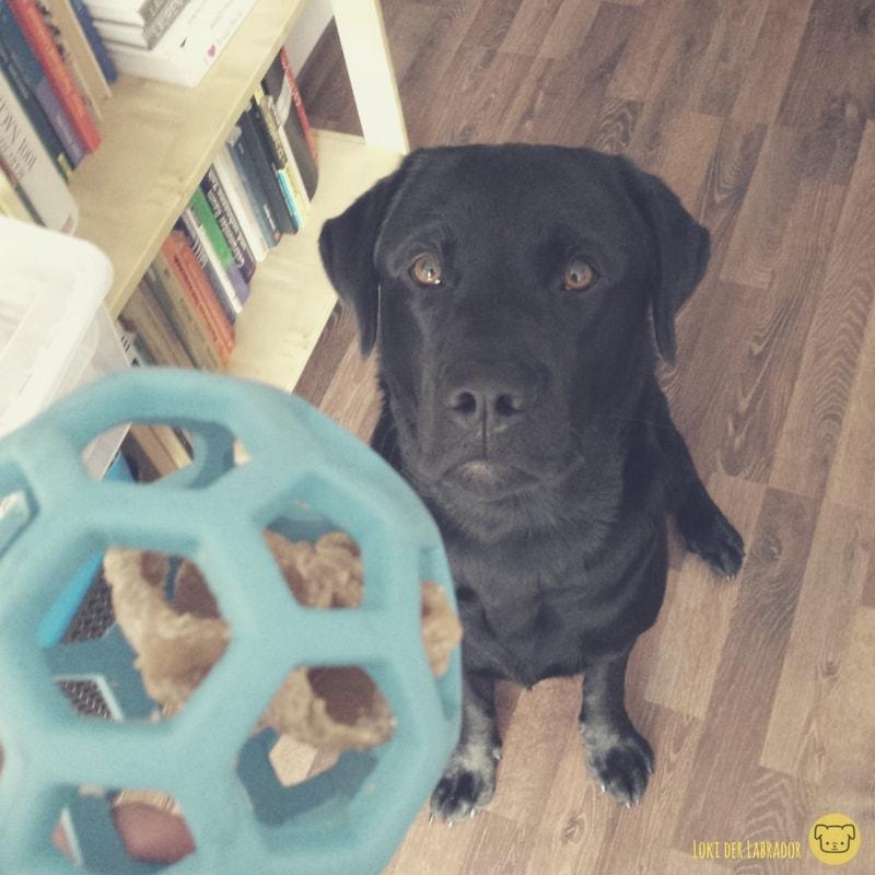 Schwarzer Labrador mit blauem Gitterball