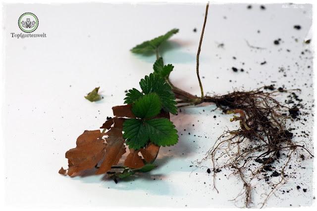 Gartenblog Topfgartenwelt Wird das was oder kann das weg? - Scheinerdbeere - wuchernde Pflanze