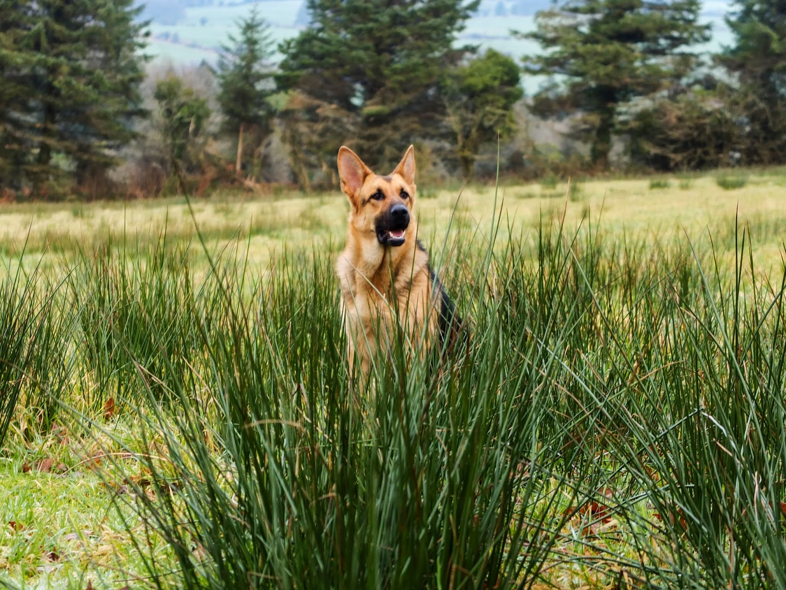 German Shepherd Nala sitting among tall grasses in a field.